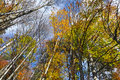 Autumn tree canopy in the forest Royalty Free Stock Photo