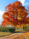 Autumn tree on a country lane. Royalty Free Stock Images