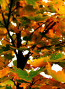 Autumn tree with leaves in colors and with selective focus on closeup leaves Royalty Free Stock Image