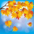 Autumn tree maple on blue background Stock Photo
