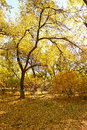 A autumn tree in the park photo taken china s heilongjiang province daqing city city forest public garden time is october Stock Photo