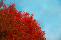 Autumn tree with red leaves against the blue sky. Royalty Free Stock Photo