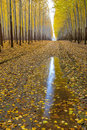 Autumn tree reflection in a puddle of rain water farm with yellow leaves and Stock Photos