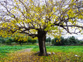 Autumn tree scene with yellow leaves Royalty Free Stock Image