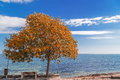 Autumn tree by the sea side on alley in coastal town Royalty Free Stock Photography