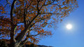 Autumn tree and sun a photo of the orange coloured leaves during to winter season in japan Stock Photography