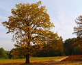 Autumn tree yellow with blue sky and forest Stock Photos