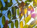 Autumn tree with yellow and green leaves on the background of Blue sky and sunlight. Royalty Free Stock Photo