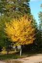 Autumn tree with yellow leaves. Royalty Free Stock Photo