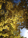 Autumn trees in the beginning of with colorful yellow leaves Stock Image