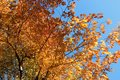 Title: Autumn trees with golden leaves