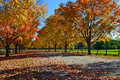 Autumn trees in maine maple lined up with leaves on the ground Royalty Free Stock Photos