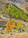 Autumn trees on a mountain slope in samedan switzerland Royalty Free Stock Image