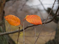 Autumn twins ttachment branch connection dried dry friends leafs orange pigment pigmentation repose retired Royalty Free Stock Photos