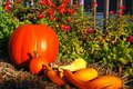 Autumn Veggies on display Royalty Free Stock Photo