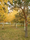 An autumn view in the park with pines and birches Stock Photography