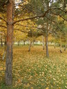 An autumn view in the park with pines and birches Royalty Free Stock Photo