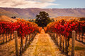 Autumn view of vineyard rows with the tree, New Zealand Royalty Free Stock Photo