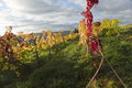 Autumn Vineyard Royalty Free Stock Photo