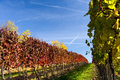Autumn vineyard in colors and blue sky Royalty Free Stock Photos