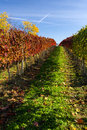 Autumn vineyard in colors and blue sky Stock Photography