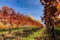 Autumn vineyard in colors and blue sky Stock Photo