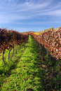 Autumn vineyard in colors and blue sky Royalty Free Stock Image