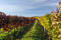 Autumn vineyard in colors and blue sky Royalty Free Stock Images