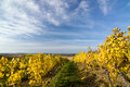 Autumn vineyard in colors and blue sky czech republic moravia europe Stock Image