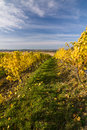 Autumn vineyard in colors and blue sky czech republic moravia europe Stock Photography
