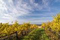 Autumn vineyard in colors and blue sky czech republic moravia europe Royalty Free Stock Photos