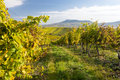 Autumn vineyard in colors and blue sky czech republic moravia europe Royalty Free Stock Photo