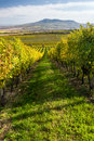 Autumn vineyard in colors and blue sky czech republic moravia europe Stock Photos