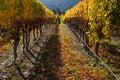 Autumn vineyard after harvest Royalty Free Stock Photo