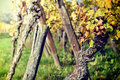 Autumn vineyard after harvest Royalty Free Stock Photo