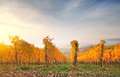 Autumn vineyard on a hill, lit by warm early morning light Royalty Free Stock Photo