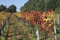 Autumn vineyard landscape Royalty Free Stock Photo