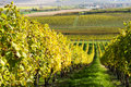 Autumn vineyard landscape with czech republic moravia europe Royalty Free Stock Photo