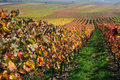 Autumn vineyard landscape in rhine valley germany Stock Image