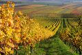 Autumn vineyard landscape in rhine valley germany Stock Photo
