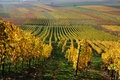 Autumn vineyard landscape in rhine valley germany Stock Photography
