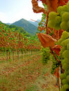 Autumn vineyard late harvest Royalty Free Stock Photos