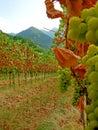 Autumn vineyard late harvest Royalty Free Stock Photo