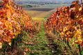 Autumn vineyards Stock Image