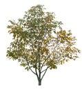 Autumn walnut tree isolated on a white background Royalty Free Stock Photos
