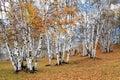 Autumn white birch Royalty Free Stock Photo