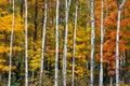 Autumn White Birch Wood Royalty Free Stock Photo