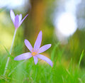 Autumn wildflower the crocus or meadow saffron colchicum autumnale blooming in green meadow macro image with Royalty Free Stock Images