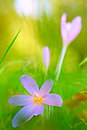 Autumn wildflower the crocus or meadow saffron colchicum autumnale blooming in green meadow macro image with Royalty Free Stock Image