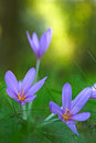 Autumn wildflower the crocus or meadow saffron colchicum autumnale blooming in green meadow macro image with Stock Images